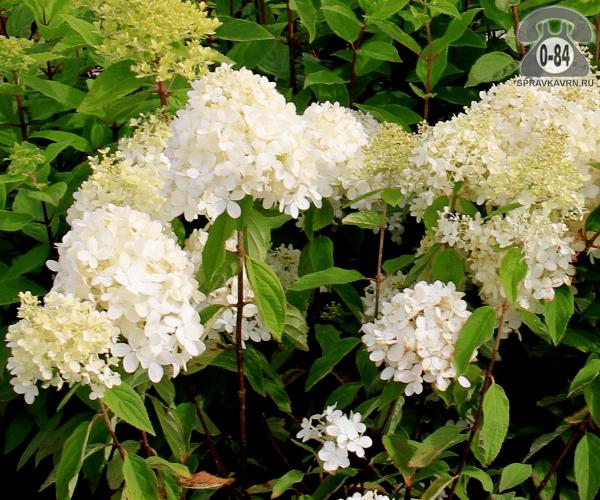 Саженцы декоративных кустарников и деревьев гортензия метельчатая Бобо (Bobo) компактный лиственные зелёнолистный белый закрытая С2 0.3 м
