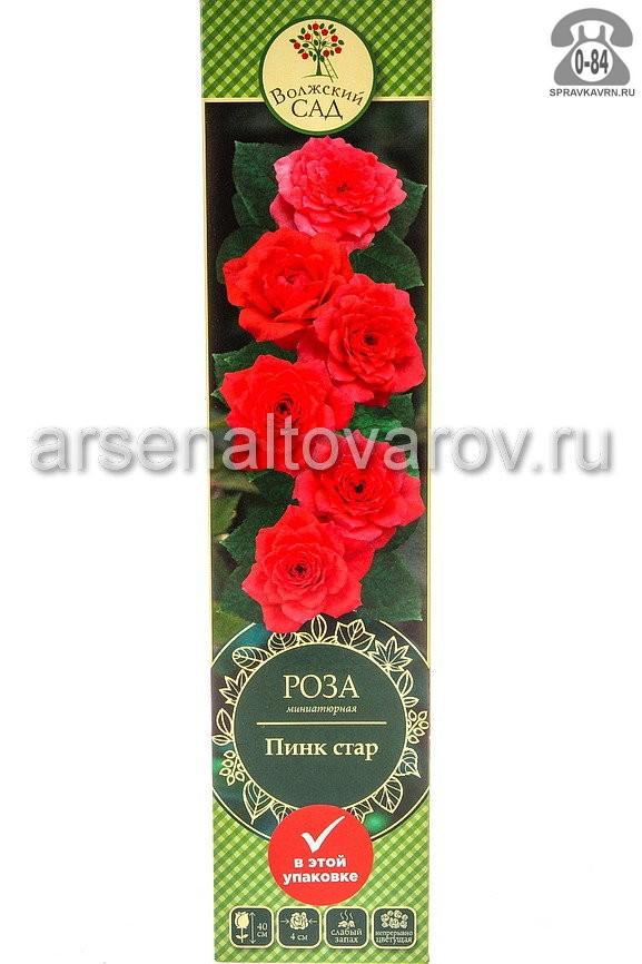 Саженцы декоративных кустарников и деревьев роза миниатюрная Пинк Стар кустистый лиственные зелёнолистный махровый нежно-розовый с лиловым открытая Россия
