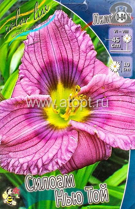 Посадочный материал цветов лилейник Силоам Нью Той многолетник корневище 2 шт. Нидерланды (Голландия)