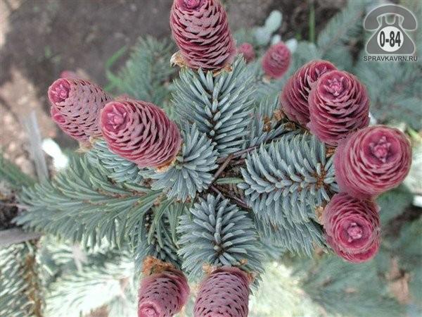 Саженцы декоративных кустарников и деревьев ель голубая (колючая) Костер (Koster) хвойные