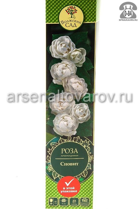 саженцы роза почвопокровная Сновит белоснежная с кремовым (Россия)