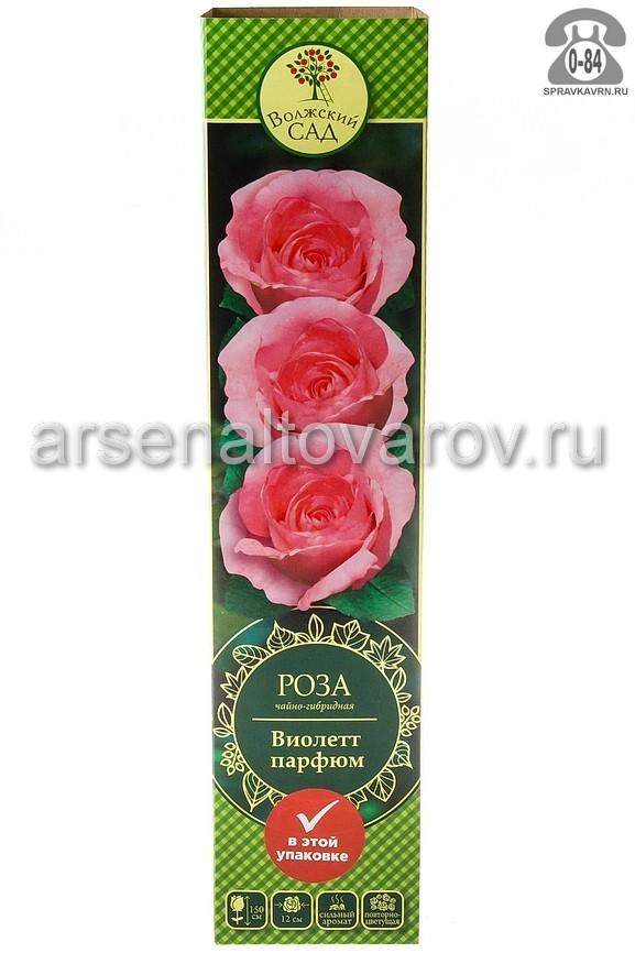 Саженцы декоративных кустарников и деревьев роза чайно-гибридная Виолет Парфюм кустистый лиственные зелёнолистный бокаловидный розовый открытая Россия