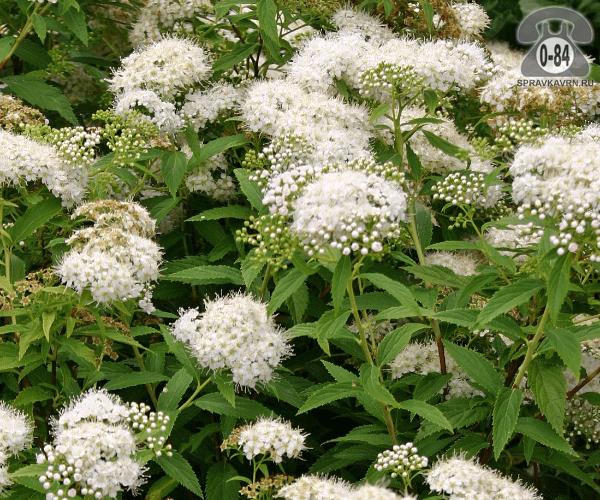 Саженцы декоративных кустарников и деревьев спирея японская Альбифлора (Albiflora) кустистый лиственные зелёнолистный белый закрытая С2