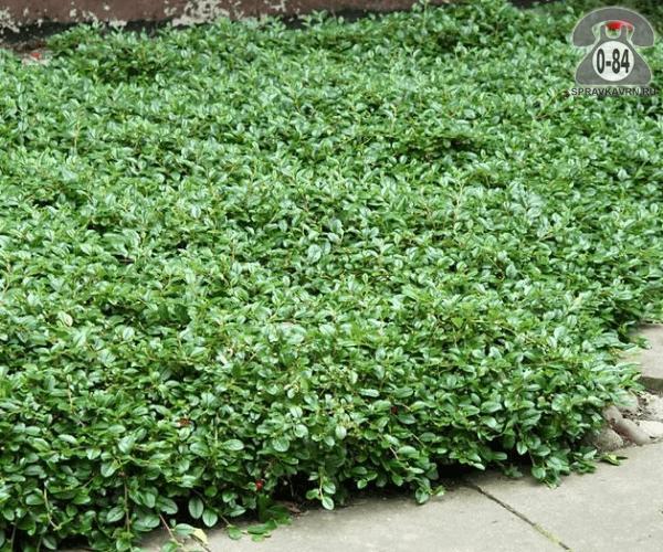 Саженцы декоративных кустарников и деревьев кизильник стелющийся лиственные зелёнолистный белый закрытая С2 0.2 м