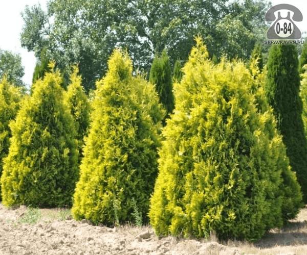 Саженцы декоративных кустарников и деревьев туя Западная (occidentalis Fastigiata) Европа Голд (Europe Gold) пирамидальная хвойные желтолистный закрытая С3