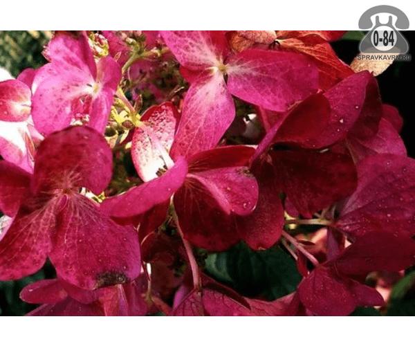 Саженцы декоративных кустарников и деревьев гортензия метельчатая Вимс Ред (Wims Red) кустистый лиственные зелёнолистный красный закрытая С2 0.5 м Россия