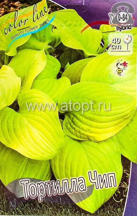 Посадочный материал цветов хоста Тортилла Чип многолетник корневище 2 шт. Нидерланды (Голландия)