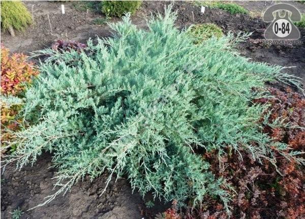 Саженцы декоративных кустарников и деревьев можжевельник виргинский (Juniperus virginiana) Блю Клоуд (Blue Cloud) стелющийся хвойные