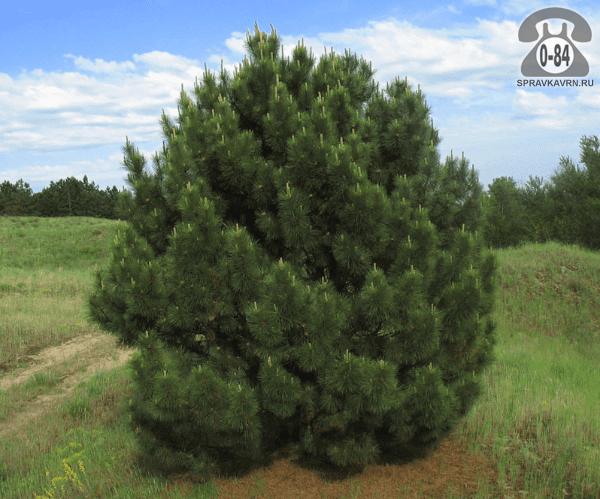 Саженцы декоративных кустарников и деревьев сосна крымская (Pinus pallasiana) хвойные закрытая Россия