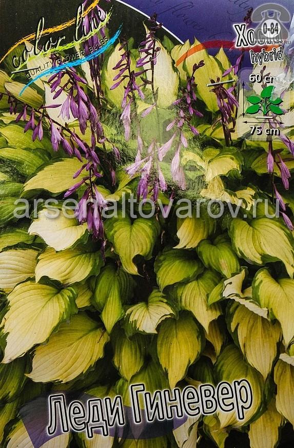 Посадочный материал цветов хоста Леди Гиневер многолетник корневище 1 шт. Нидерланды (Голландия)