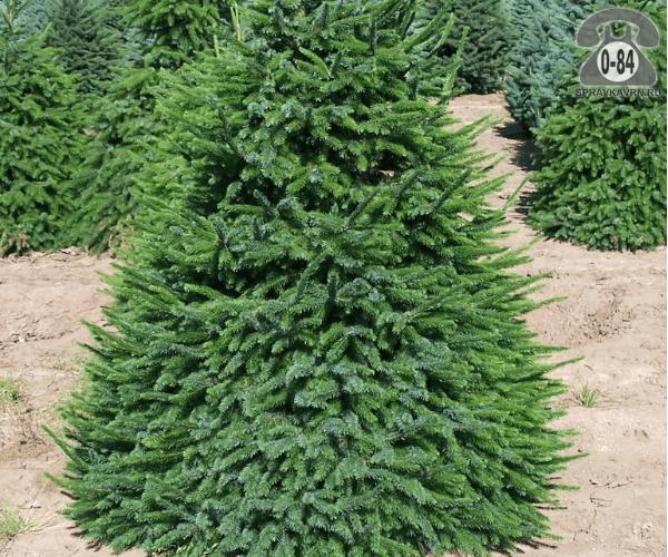 Саженцы декоративных кустарников и деревьев ель сербская (Picea omorika) пирамидальная хвойные закрытая Россия