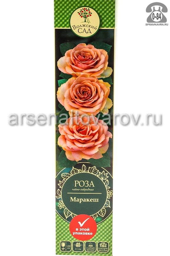 Саженцы декоративных кустарников и деревьев роза чайно-гибридная Маракеш кустистый лиственные зелёнолистный бокаловидный оранжевый с розовым открытая Россия