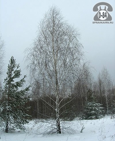 Саженцы декоративных кустарников и деревьев берёза бородавчатая (повислая, плакучая, обыкновенная, повисшая) лиственные закрытая 2 м