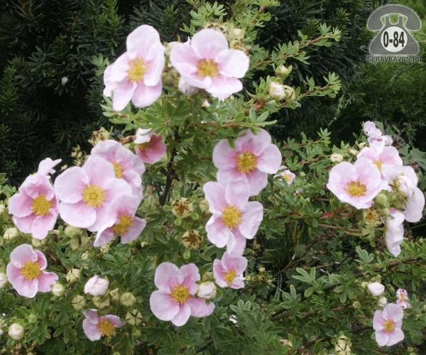 Саженцы декоративных кустарников и деревьев лапчатка кустарниковая Пинк Квин (Pink Queen) кустистый лиственные зелёнолистный розовый закрытая С2 0.3 м