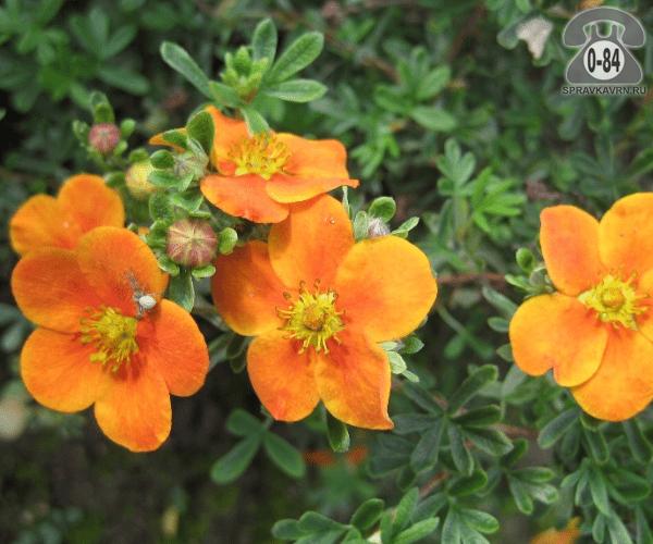 Саженцы декоративных кустарников и деревьев лапчатка кустарниковая Танжерин (Tangerine) кустистый лиственные зелёнолистный абрикосовый закрытая С2 0.3 м