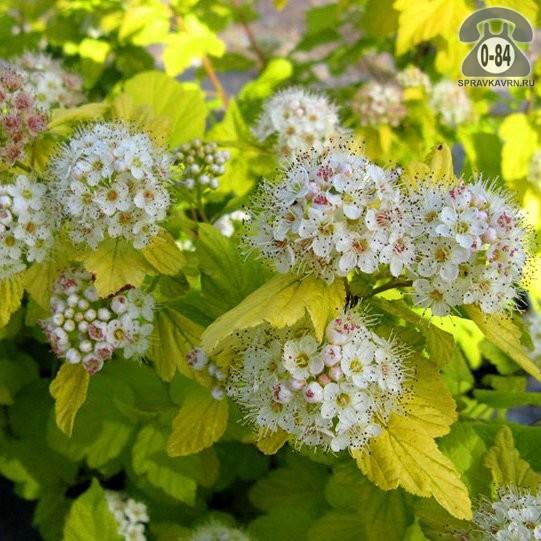 Саженцы декоративных кустарников и деревьев пузыреплодник калинолистный лиственные