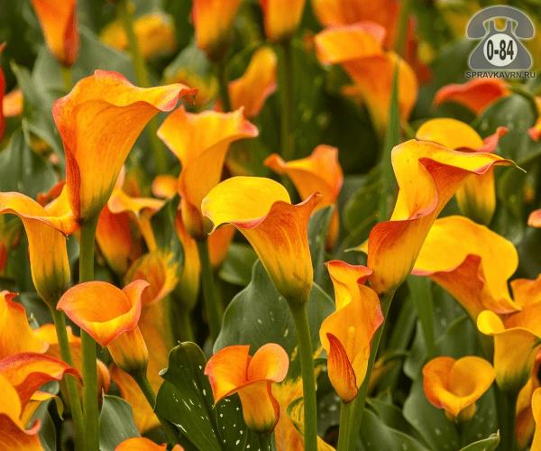 Посадочный материал цветов калла (белокрыльник) многолетник клубень Нидерланды (Голландия)