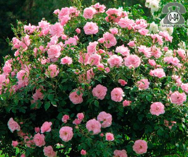 Саженцы декоративных кустарников и деревьев роза парковая (шиповник культурный) лиственные закрытая