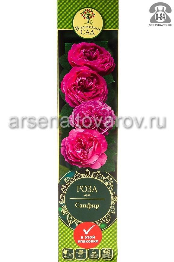 саженцы роза шраб Сапфир сиренево-голубоватая (Россия)