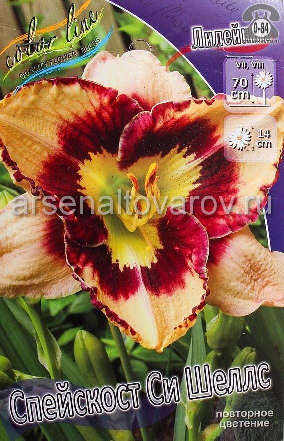 Посадочный материал цветов лилейник Спейскост Си Шеллс многолетник корневище 1 шт. Нидерланды (Голландия)