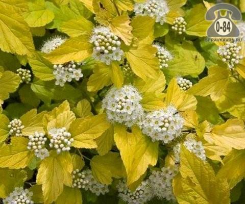 Саженцы декоративных кустарников и деревьев пузыреплодник калинолистный Ауреа (Aurea) лиственные желтолистный