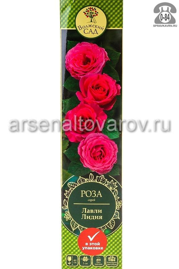 Саженцы декоративных кустарников и деревьев роза спрей Лавли Лидия кустистый лиственные зелёнолистный махровый ярко-розовый открытая Россия