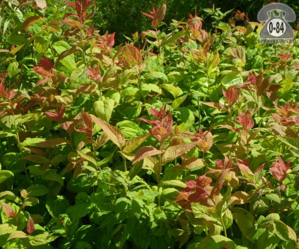 Саженцы декоративных кустарников и деревьев спирея японская Макрофилла (Macrophylla) лиственные пестролистный розовый