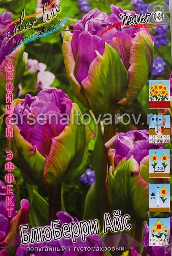 Клубнелуковичный цветок тюльпан Двойной Эффект Блюберри Айс