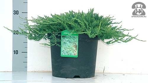 Саженцы декоративных кустарников и деревьев можжевельник горизонтальный Вилтони (Wiltonii) стелющийся хвойные