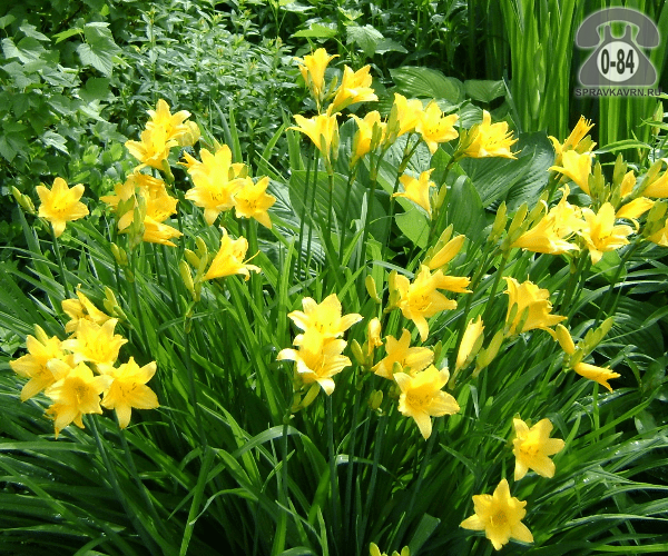 Посадочный материал цветов лилейник многолетник корневище