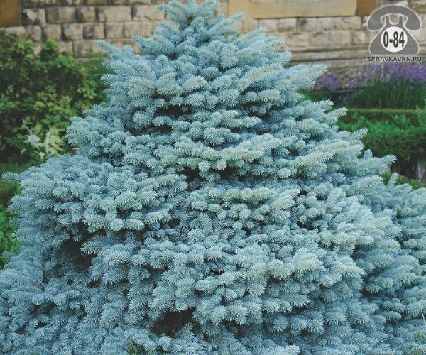 Саженцы декоративных кустарников и деревьев ель Глаука (Glauca) хвойные закрытая L5 Россия