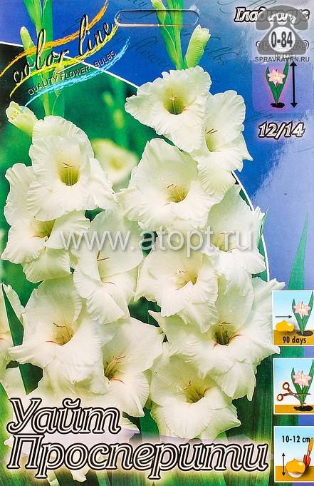 Посадочный материал цветов хоста Альбомаргината многолетник корневище 2 шт. Нидерланды (Голландия)
