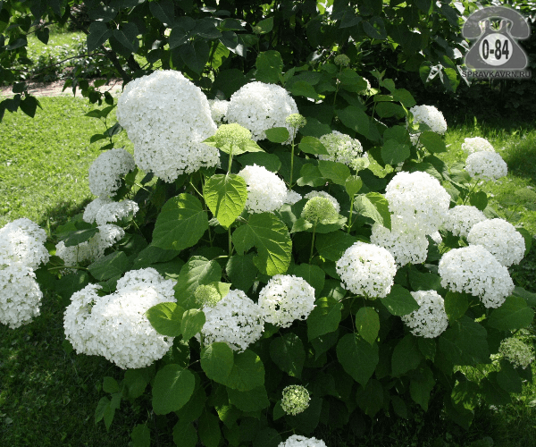 Саженцы декоративных кустарников и деревьев гортензия древовидная Аннабель кустистый лиственные зелёнолистный белый закрытая С2 0.5 м