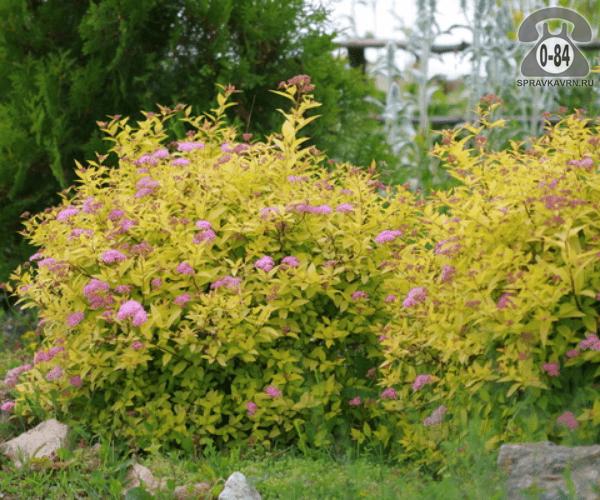 Саженцы декоративных кустарников и деревьев спирея японская Голден Принцесс (Golden Princess) компактный лиственные желтолистный розовый закрытая С2 0.3 м