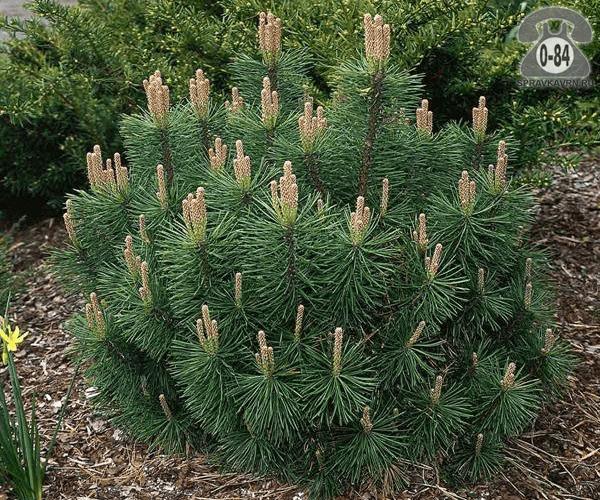 Саженцы декоративных кустарников и деревьев сосна горная (Pinus mugo) Пумилио (Pumilio) многоствольная хвойные закрытая
