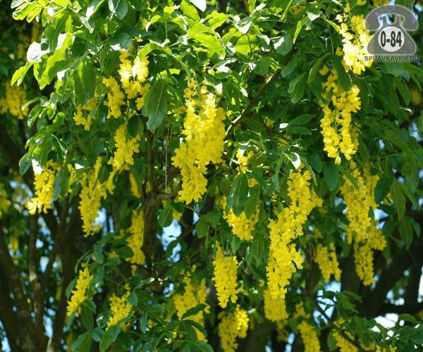 Саженцы декоративных кустарников и деревьев бобовник кустистый лиственные зелёнолистный жёлтый закрытая С5 1 м