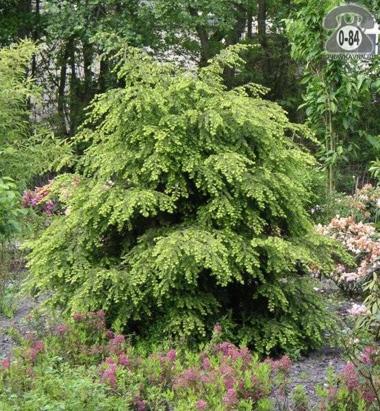 Саженцы декоративных кустарников и деревьев тсуга хвойные