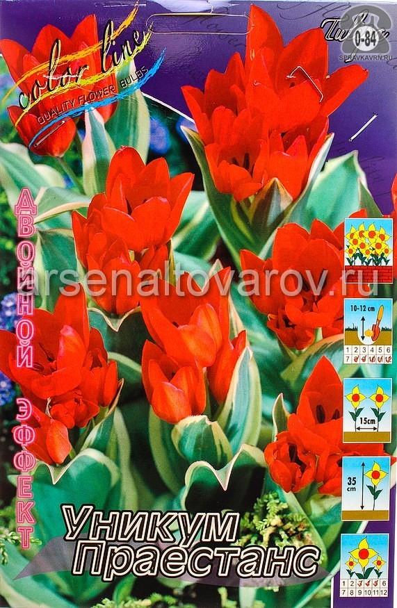 луковичные тюльпан двойной эффект Уникум Праестанс (в пакете 10 шт) цена за пакет (Голландия)