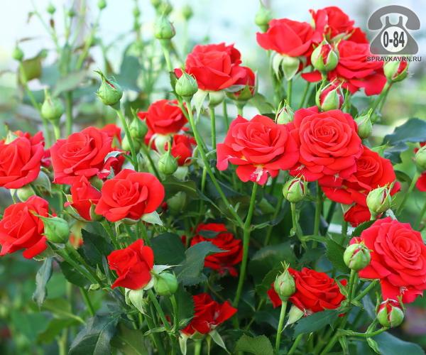 Саженцы декоративных кустарников и деревьев роза спрей кустистый лиственные зелёнолистный махровый закрытая