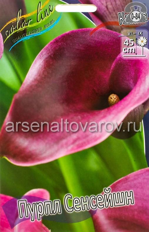 Посадочный материал цветов калла (белокрыльник) Пурпл Сенсейшн многолетник клубень 2 шт. Нидерланды (Голландия)