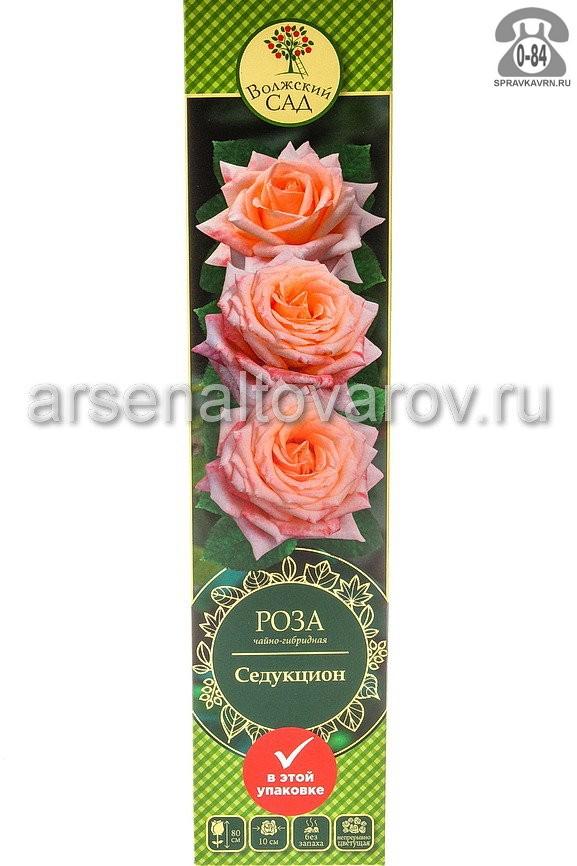 Саженцы декоративных кустарников и деревьев роза чайно-гибридная Седукцион кустистый лиственные зелёнолистный бокаловидный персиковый с розовым открытая Россия