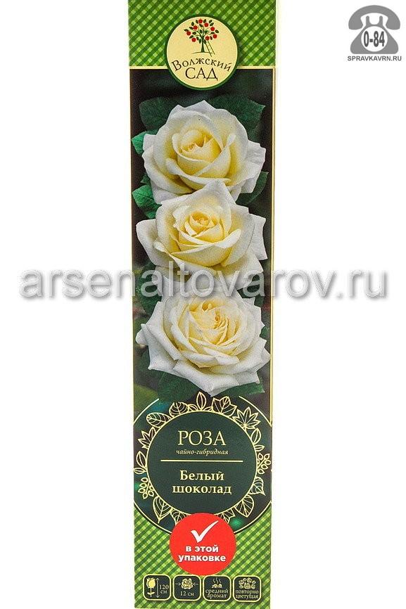 Саженцы декоративных кустарников и деревьев роза чайно-гибридная Белый кустистый лиственные зелёнолистный бокаловидный шоколад открытая Россия
