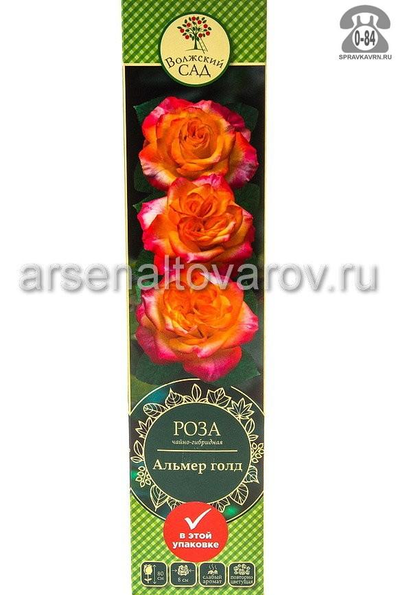 Саженцы декоративных кустарников и деревьев роза чайно-гибридная Альмер Голд кустистый лиственные зелёнолистный бокаловидный красно-розовый открытая Россия