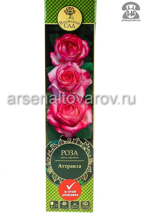 саженцы роза чайно-гибридная Аттракта белая с малиновым (Россия)