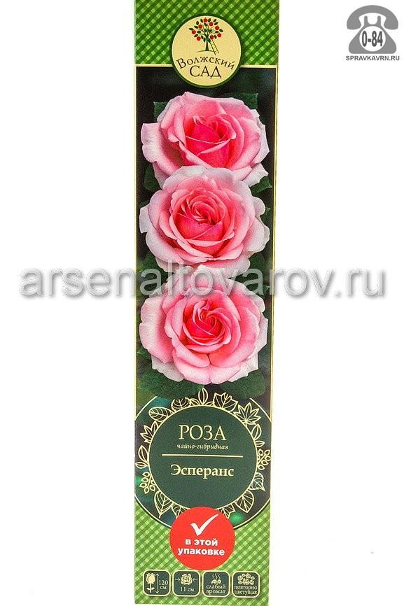 саженцы роза чайно-гибридная Эсперанс светло-розовая (Россия)