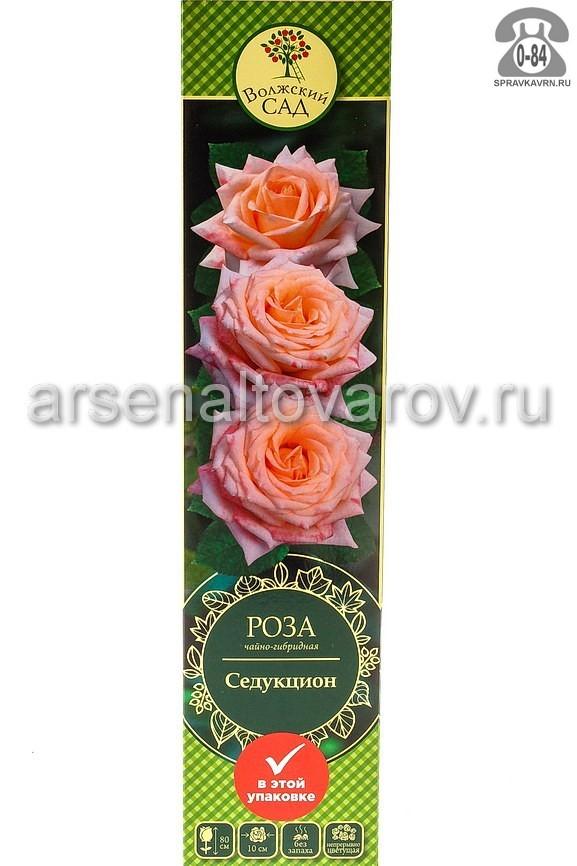 саженцы роза чайно-гибридная Седукцион персиковая (Россия)