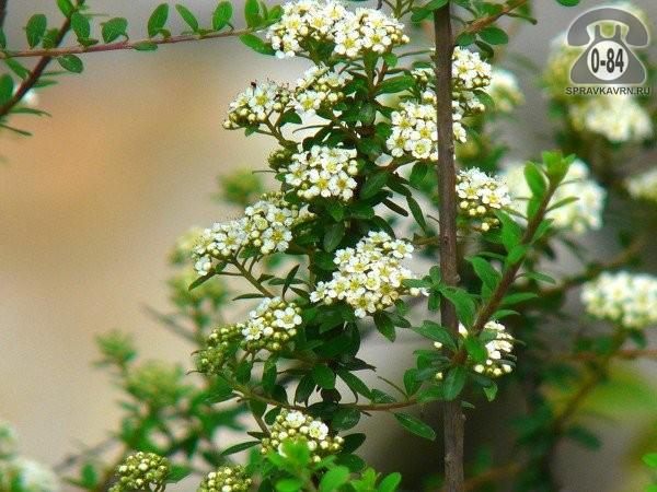 Саженцы декоративных кустарников и деревьев спирея карликовая лиственные