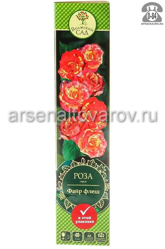 саженцы роза спрей Файр Флэш красная с желтыми полосками 211 (Россия)