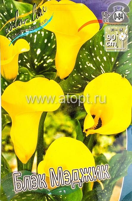 Посадочный материал цветов калла (белокрыльник) Блэк Мэджик многолетник клубень 2 шт. Нидерланды (Голландия)
