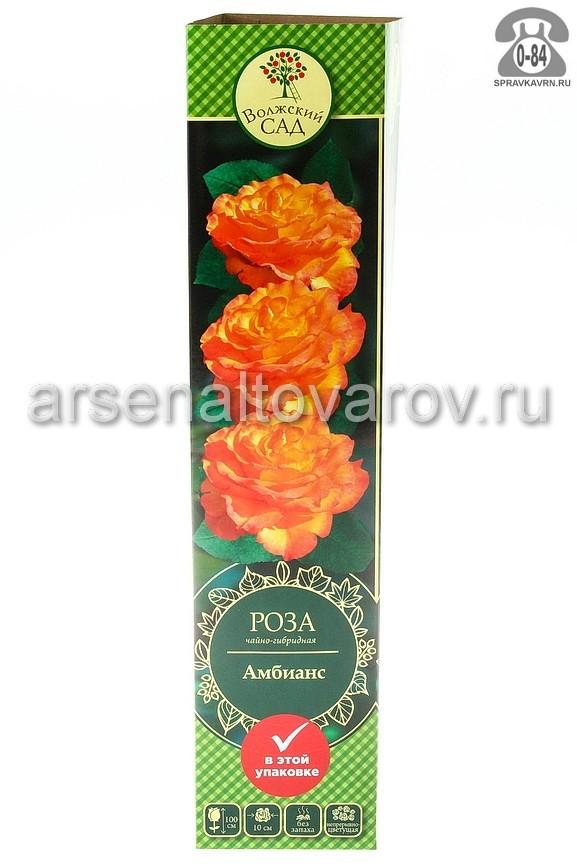 Саженцы декоративных кустарников и деревьев роза чайно-гибридная Амбианс кустистый лиственные зелёнолистный бокаловидный желтый с малиновым открытая Россия